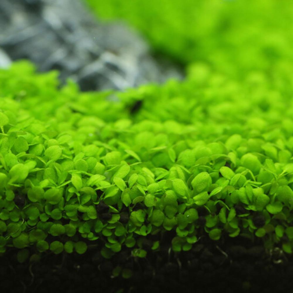 Aquatic Plant Seed for Fish Bowl Aquarium Landscape Decoration Large leaves