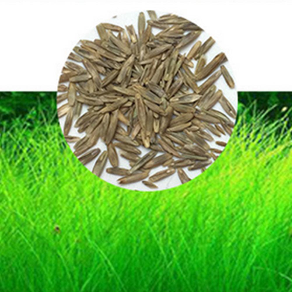 [Indonesia Direct] Aquarium Plant Seeds Aquatic Water Grass Decoration as Garden Fish Tank Foreground Plant Large Eleocharis acicularis
