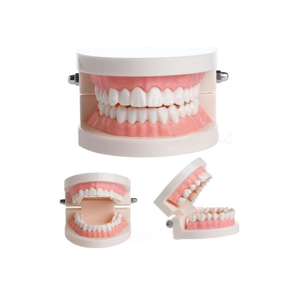 [Indonesia Direct] Dental Denture Model Gums Standard Audlt Teeth Model Medical Teaching Tool Teeth Model