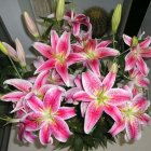 20Pcs Lilium Seed for Bonsai Potted Planting Decoration Pink