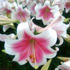 20Pcs Lilium Seed for Bonsai Potted Planting Decoration Water cloud dream